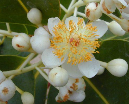 ดอกต้นกระทิง02