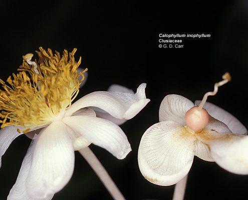 ดอกต้นกระทิง01