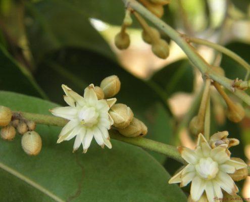 ดอกพิกุล01