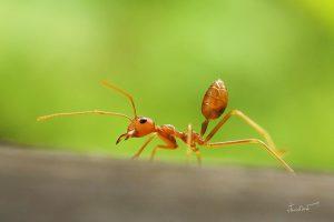 มดแดง (Red Ant)