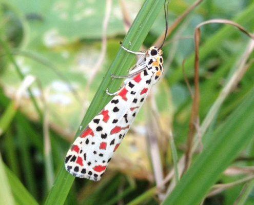 มอธปอเทืองขาวจุดแดงดำ (White Crotalaria Moth)