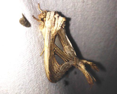 มอธหนอนมังกรลำไย (Longan Dragon-tailed Caterpillar)
