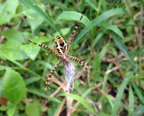 แมงมุมนุ่งซิ่นดิ้นทอง (Great Argiope Spider)