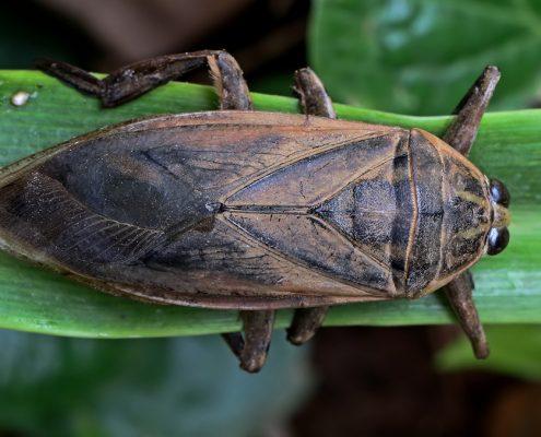 แมลงดานา (Giant Water Bug)