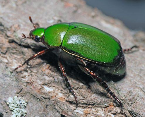 แมลงนูนเขียวธรรมดา (Green Chafer)