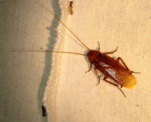 แมลงสาบอเมริกัน (American Hose Cockroach)