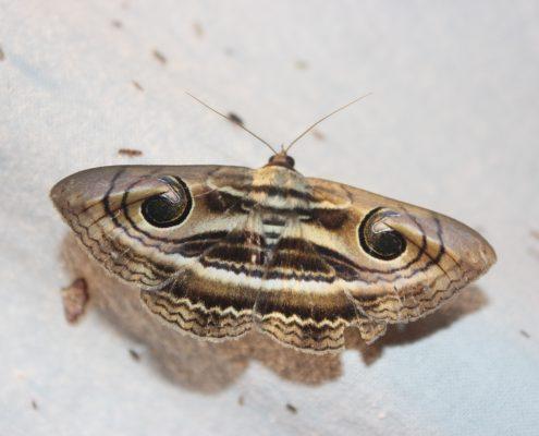 มอธพิรามหน้ายักษ์ (Contrasting Catocalin Moth)